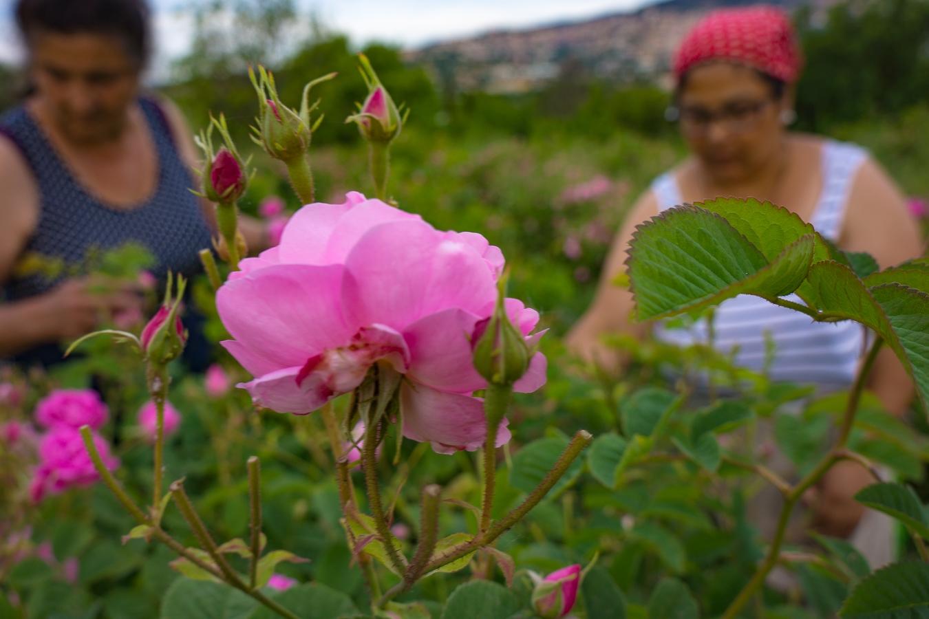 Rosenernte bei Grasse