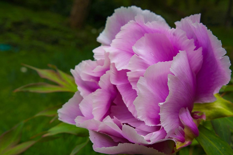 spezial Rose