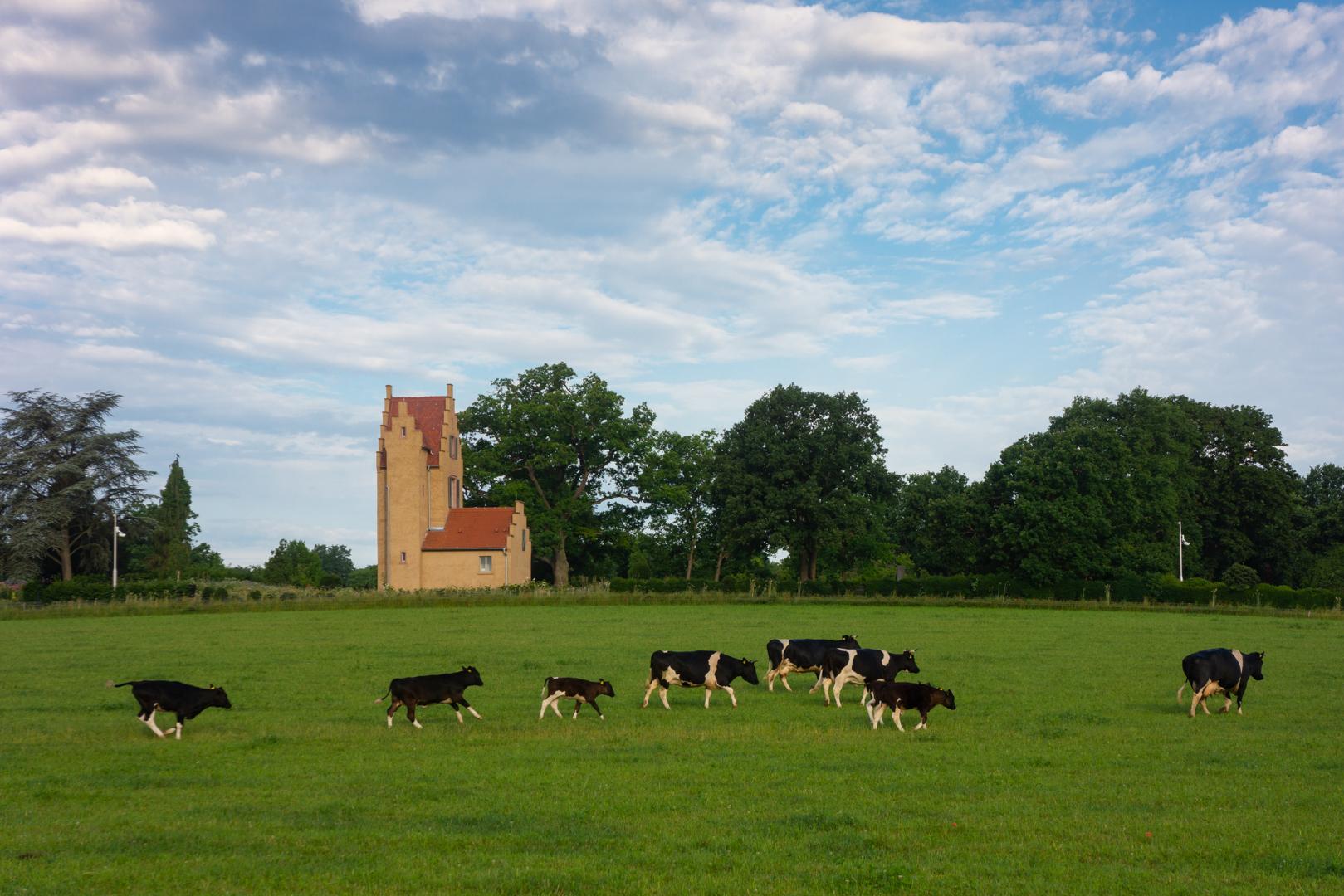Kühe vor dem Spanischen Turm